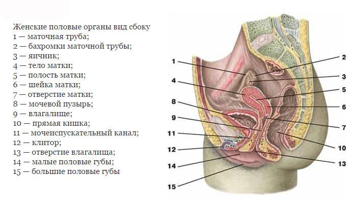 Анатомия женских половых органов